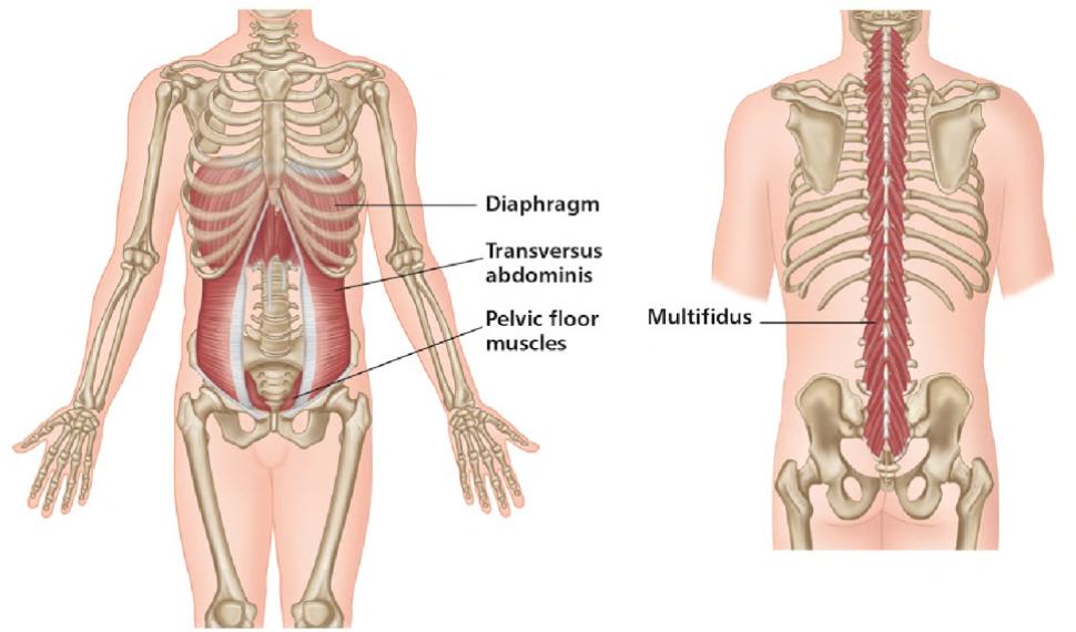 Gemütlich Multifidus Muskelanatomie Fotos - Menschliche Anatomie ...